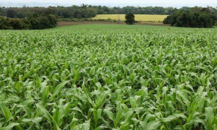 Semeadura do milho chega aos 50% da área prevista no Rio Grande do Sul