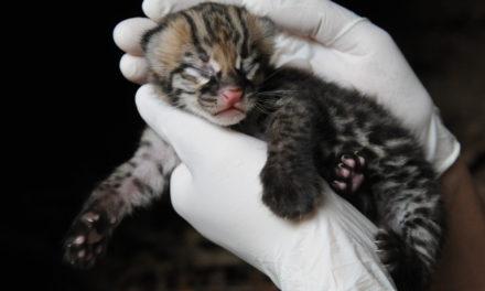 Filhote de Jaguatirica nasce em cativeiro no Gramadozoo