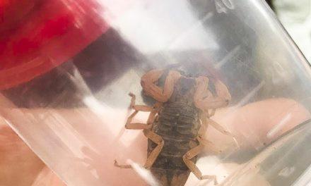 Prefeitura de Porto Alegre orienta população sobre o escorpião amarelo